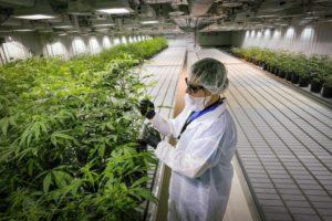 A sterile medical cannabis grow facility.